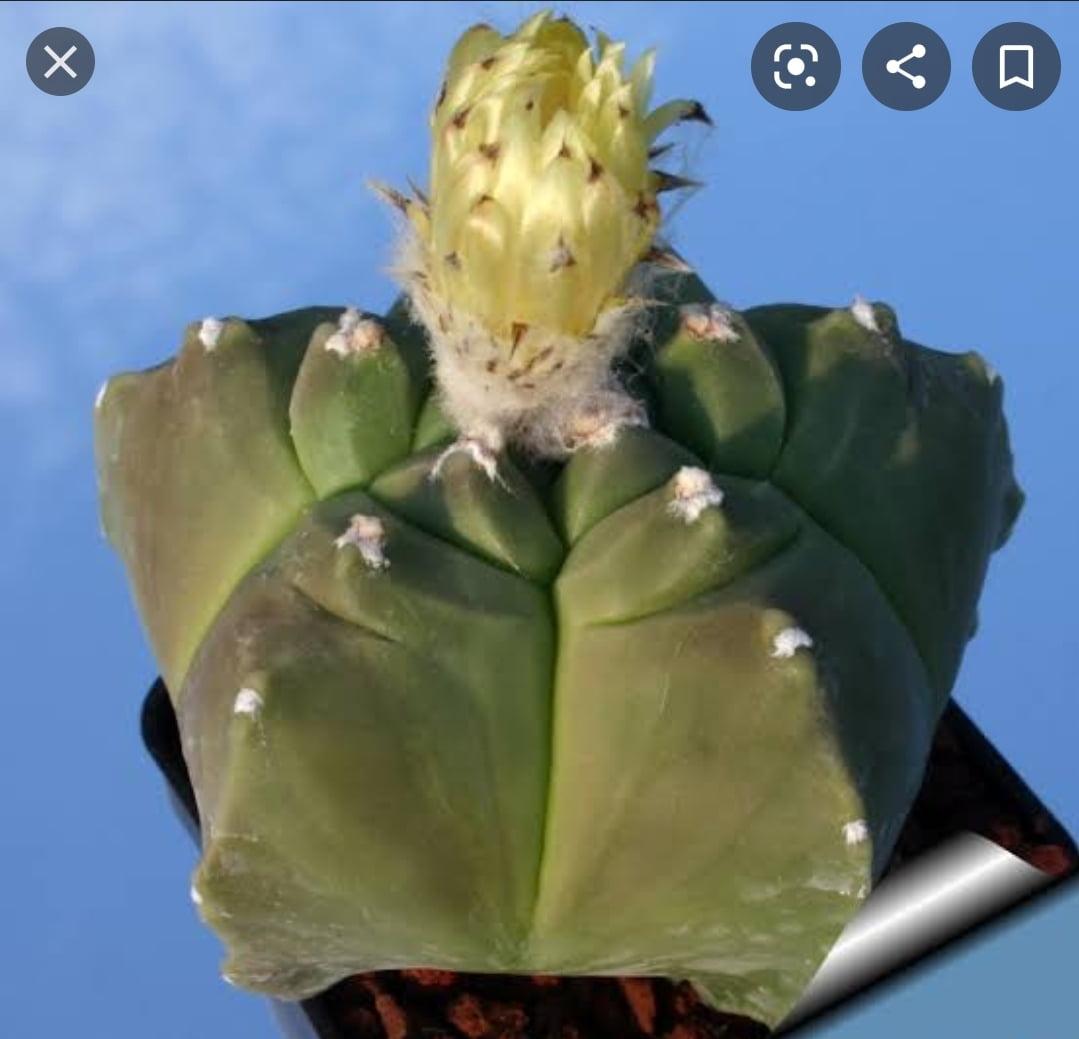 Astrophytum kikko