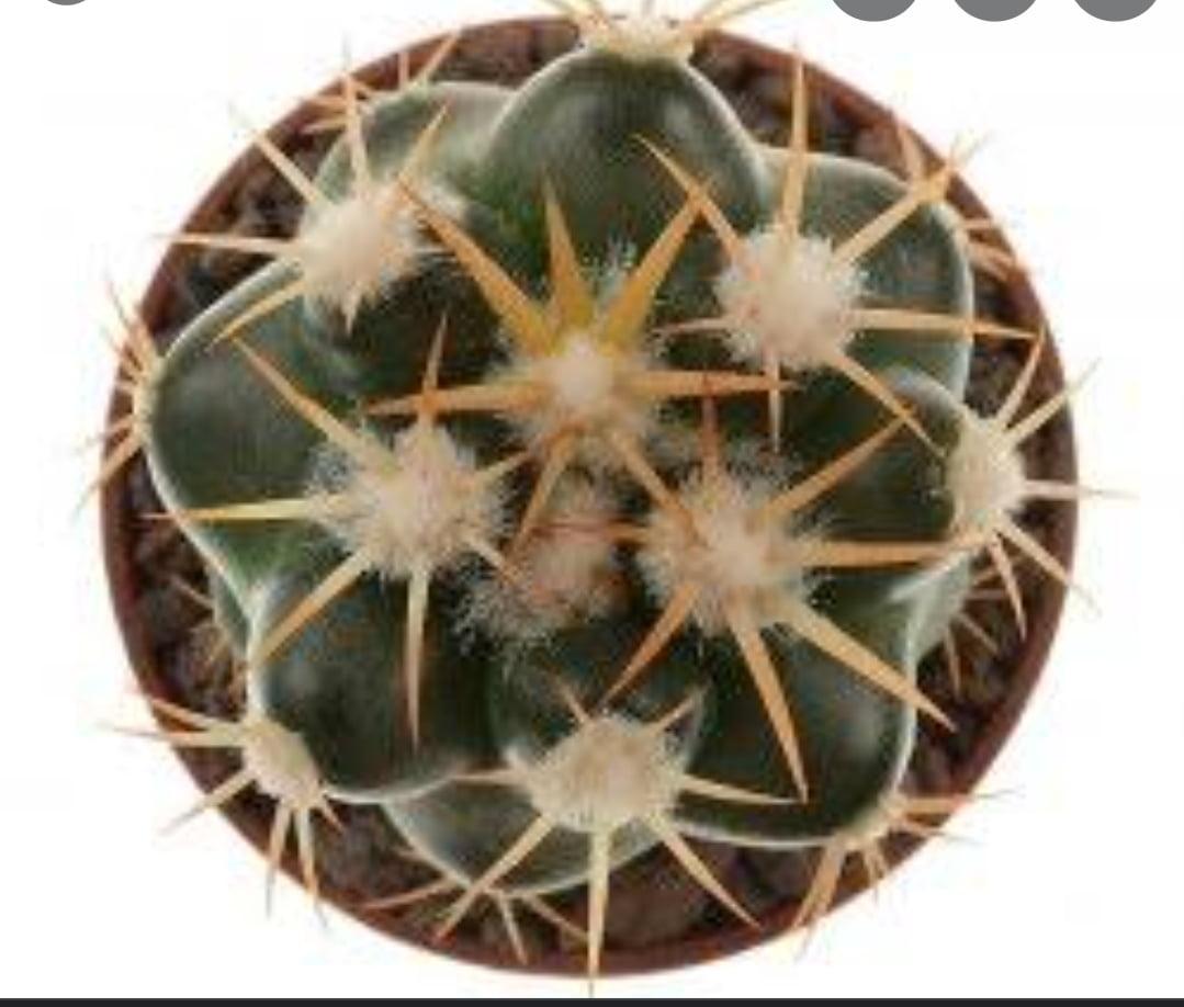 Discocactus pent halfari - cactos brasil