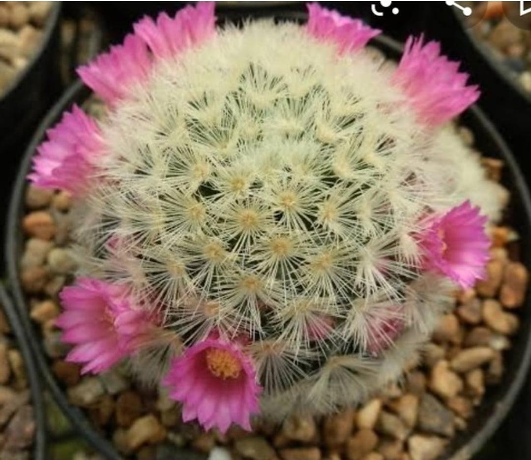 Mammillaria laui subs.subducta