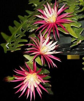 Epiphyllum  - cactos orquidea - flor de outubro - sianinha