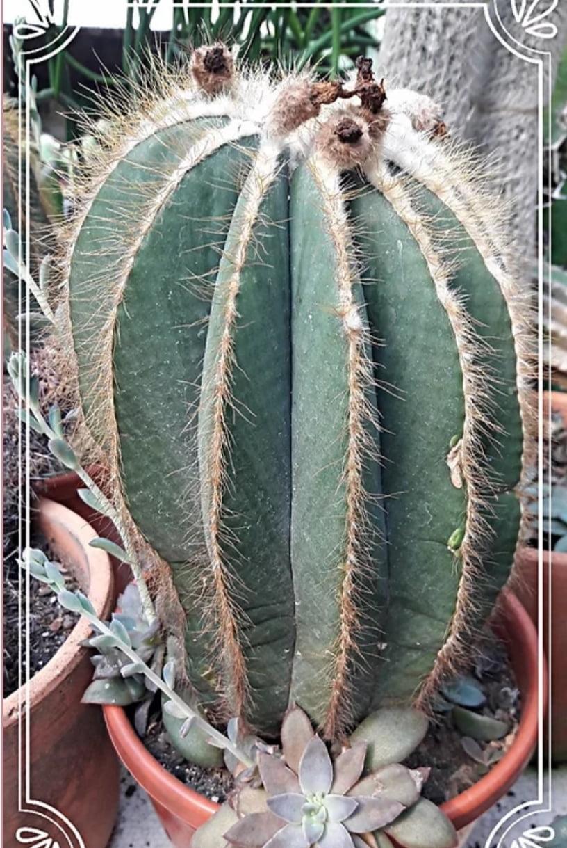 Paródia magnifica adulta com 30cm