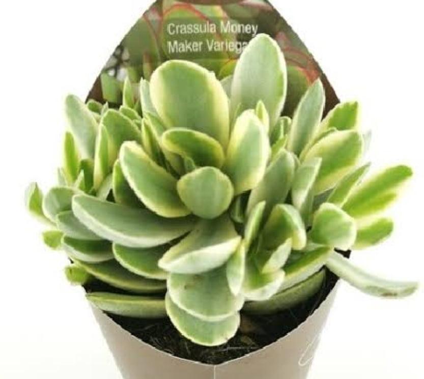 Crassula Money maker variegata
