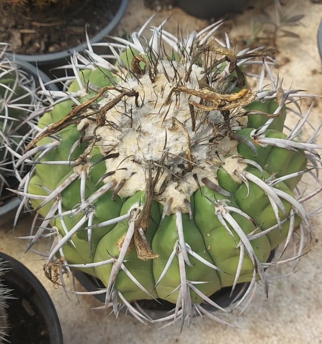 Discocactus sp adulta de colecionador ,unico