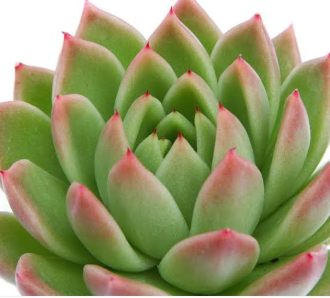 Echeveria Agavoides Red tips