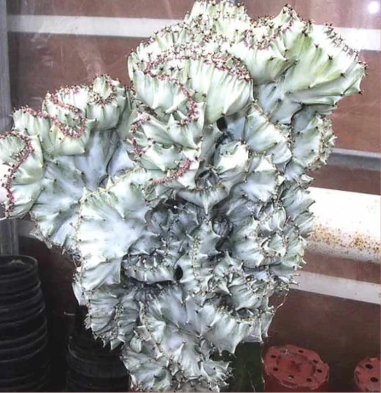 Euphorbia láctea cristata prata