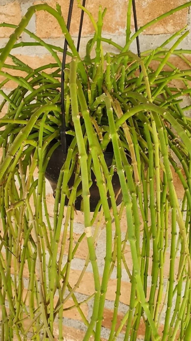 Euphorbia pendente-importada