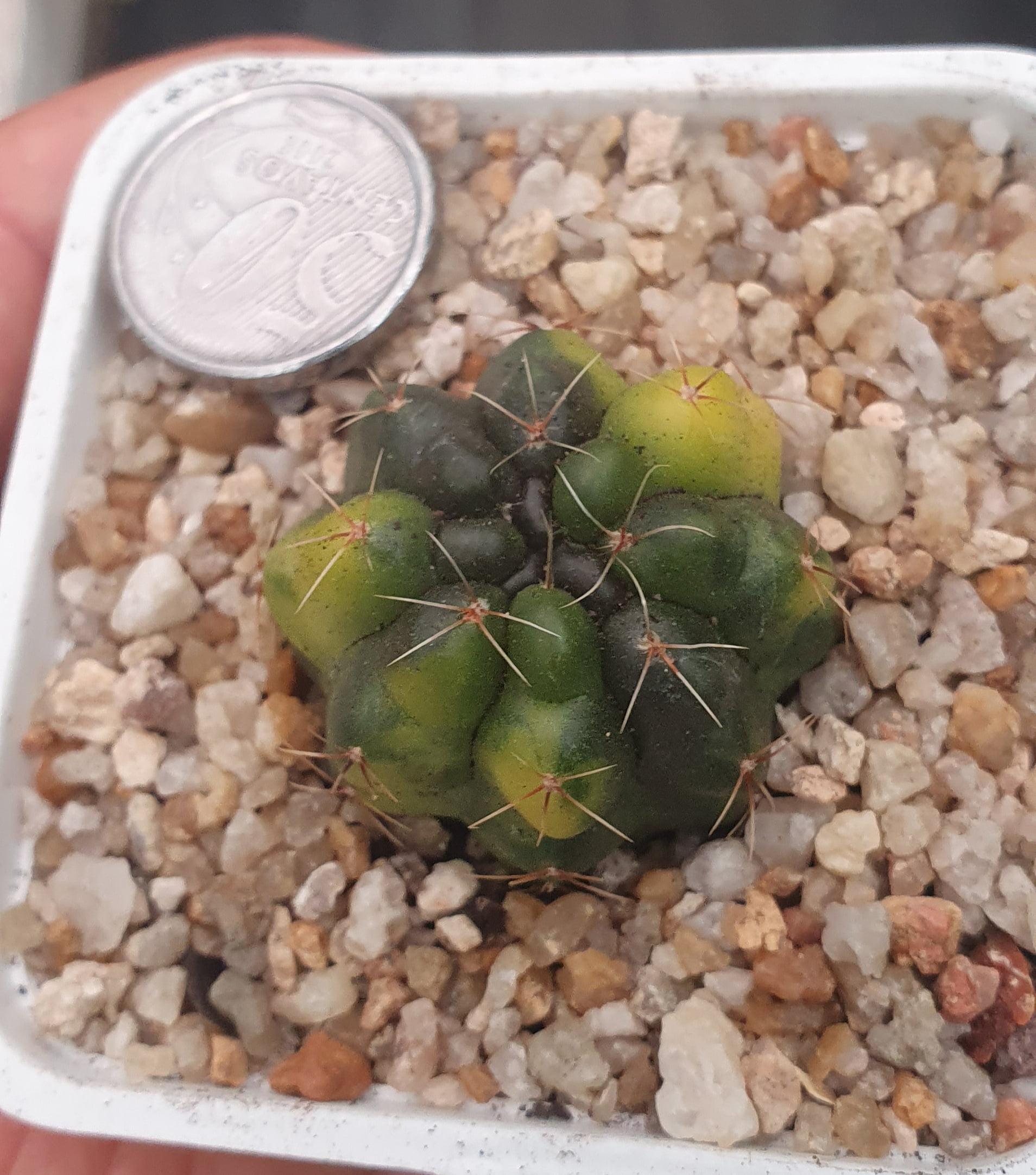 Gymnocalycium Baldianum variegata -N2