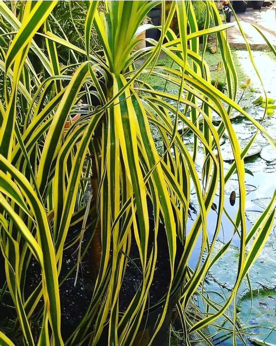 Beucarnea Recurva variegata