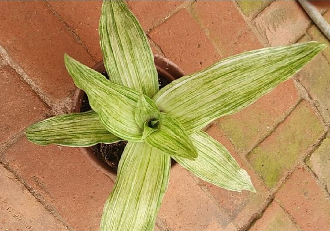Callisia Fragans variegata