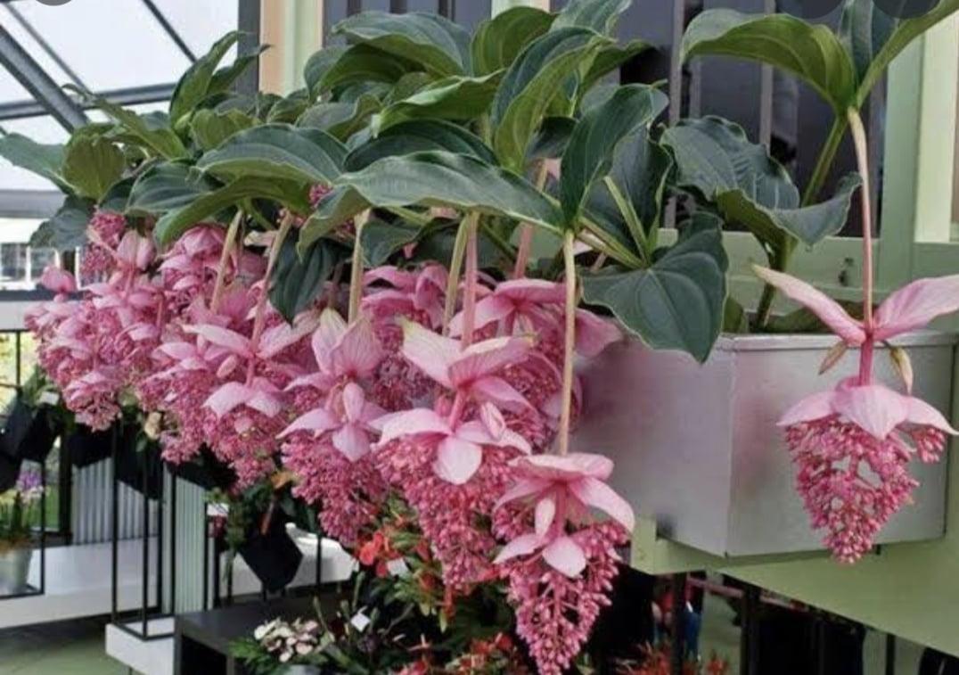 Medinila Magnifica 80cm já florindo