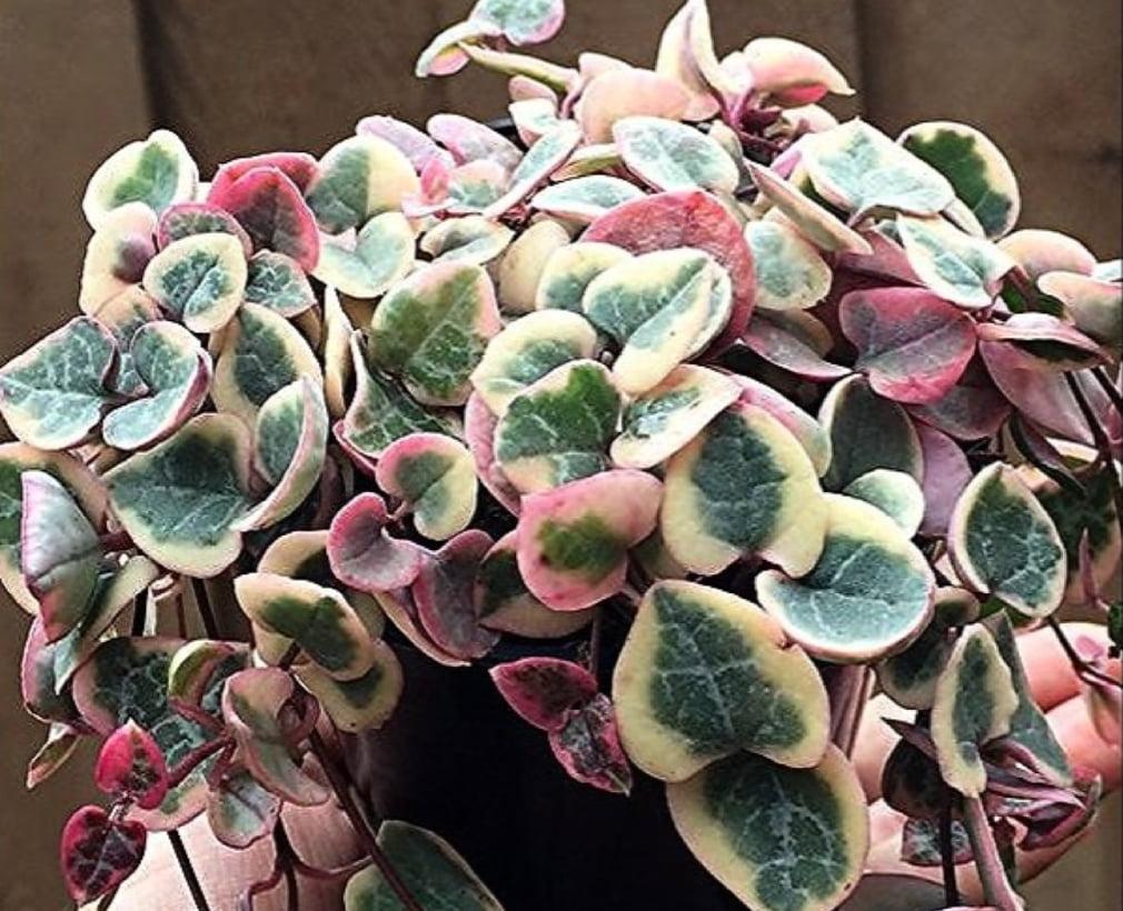 Ceropgia woodii hearts variegata