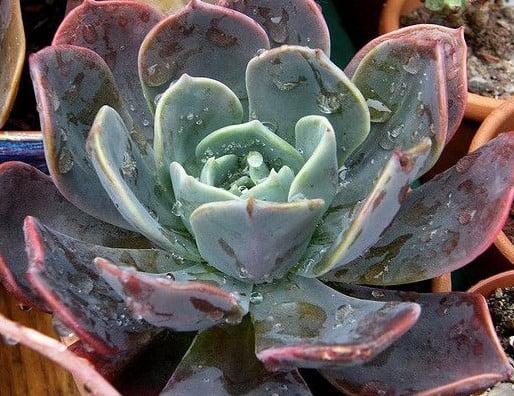 Echeveria blue pince hibira gila - cactos brasil