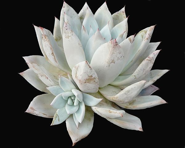Echeveria colorata mexican giant