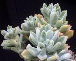 echeveria pulvinata frosty - cactos brasil