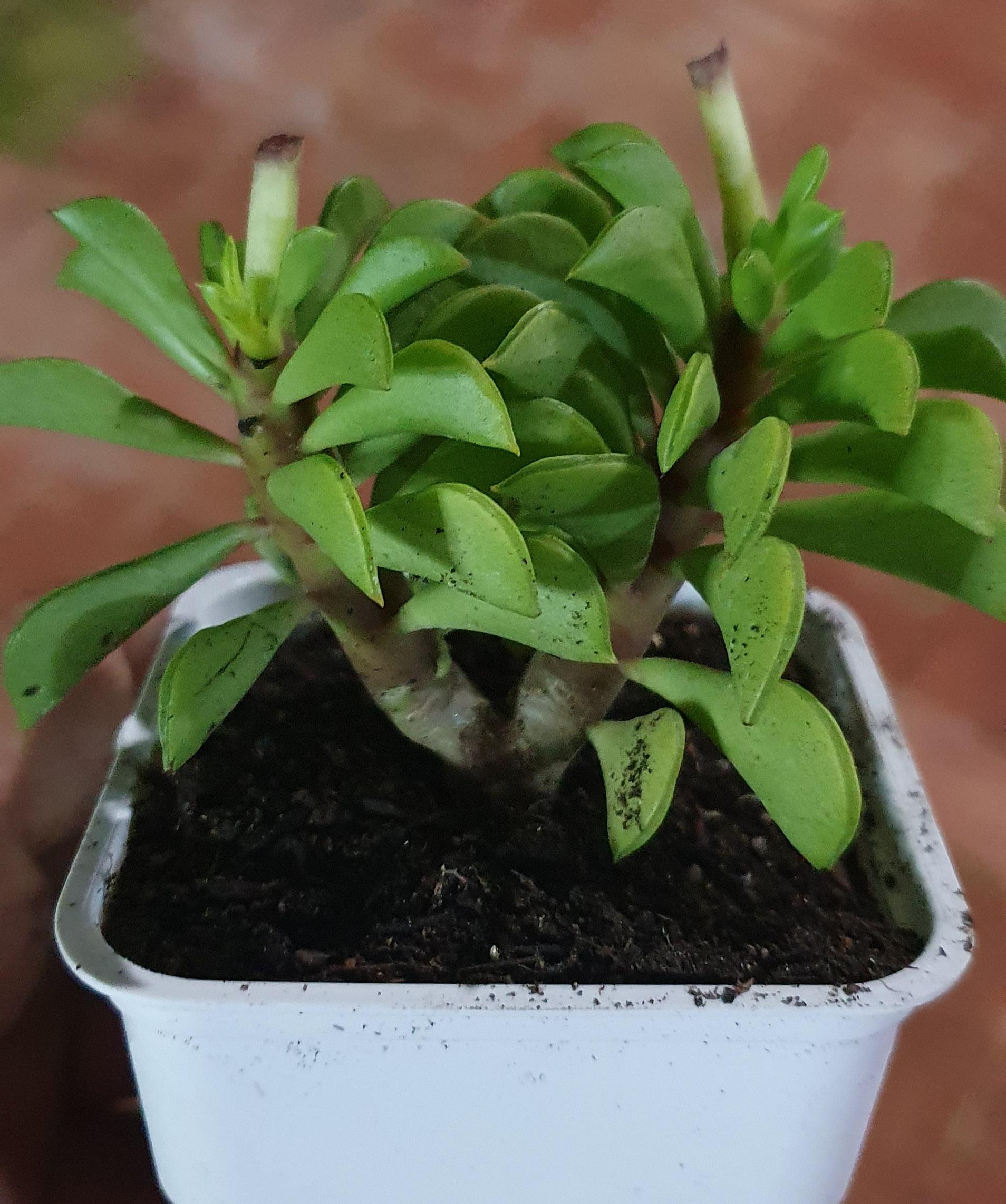 Peperomia sp