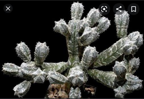 Astrophytum Myriostigma Monstruoso