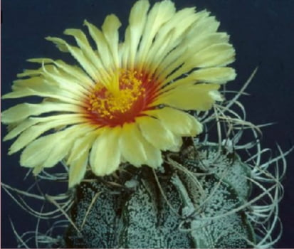 Astrophytum capriconea