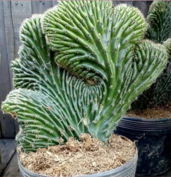 Cleisocactus cristato - rabo de sereia