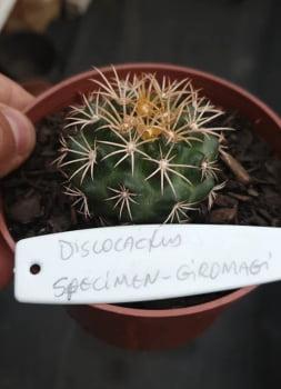 Discocactus specimem giromagi