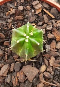 Echinocereus Knippeliano