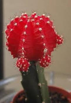gymnocalycium minhanovichi red- cactos brasil