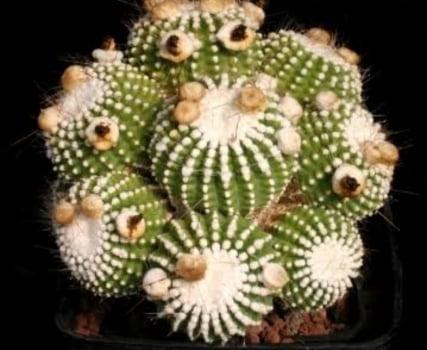 Notocactus scopa var inermis