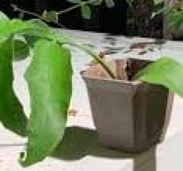 Epiphyllum  - cactos orquidea - flor de outubro - dama da noite