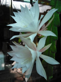 Epiphyllum Ice crystal