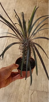 Pachypodium geayii