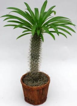 Pachypodium lamery mandacasriense