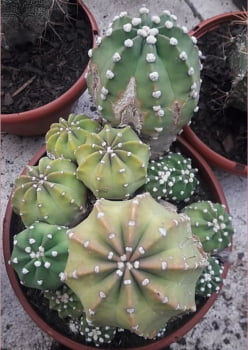 Echinopsis subdenudata colonia