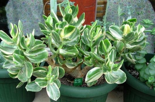 Crassula ovata cv. oblíqua variegata