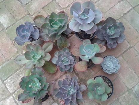 Mix de 10 Echeveria Gibbflora