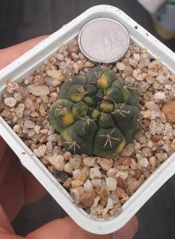 Gymnocalycium Baldianum variegata 3a4cm - n1
