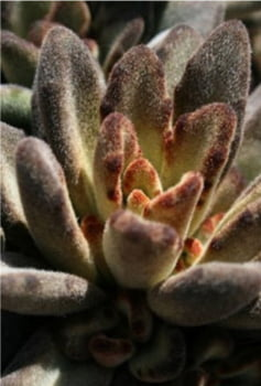 Kalanchoe Tomentosa chocolate soldier