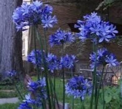 Agapanto Compacto blue