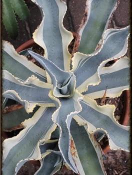 Agave gypisophila ivory curls - CACTOS BRASIL