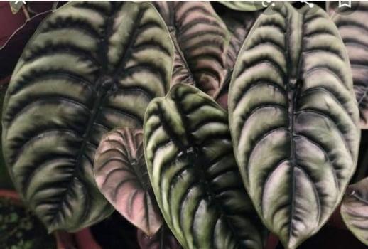 Alocasia Cuprea - Pulmão de Aço