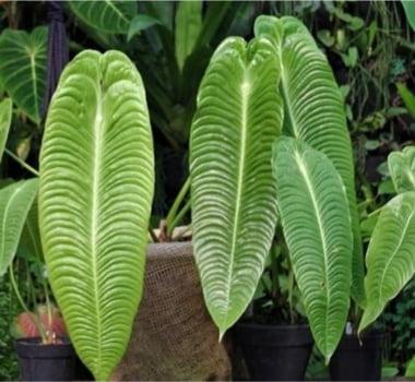 Anthurium Veitchii - muda jovem  30cm