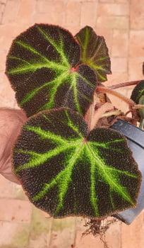 Begonia soli mutata