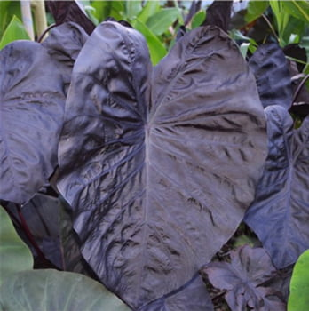 Colocasia Black Swan