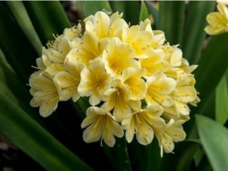 Clivia Miniata amarela