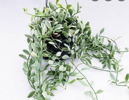 Dischidia ionantha variegata