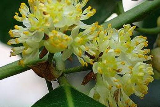 Flor de loureiro