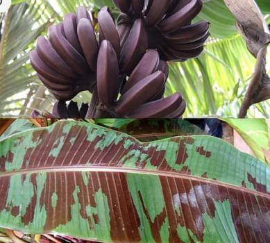 Musa Acuminata var Zebrina ) 50cm