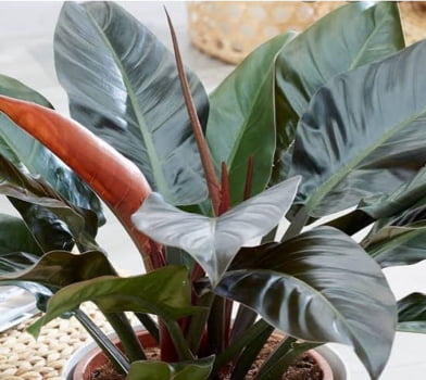 Philodendron Imperial Gibbiflora Red