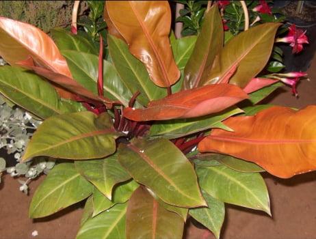 Philodendron outono