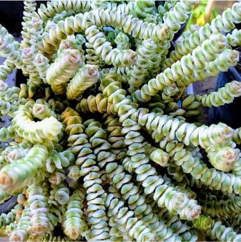 Crassula marnieriana variegata