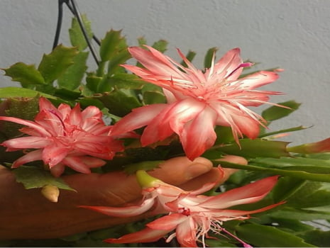 flor de maio repicada pink
