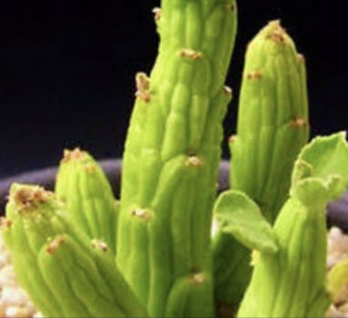 Monadenium ellebeckerri